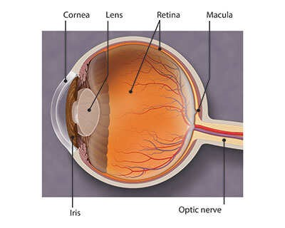 Cornea, lens, retina, macula, iris, optic nerve